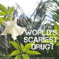 Colombian Devil's Breath World's Scariest Drug Kills Your Free Will