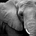 Heroin Addicted Elephants Treated and Released Sober